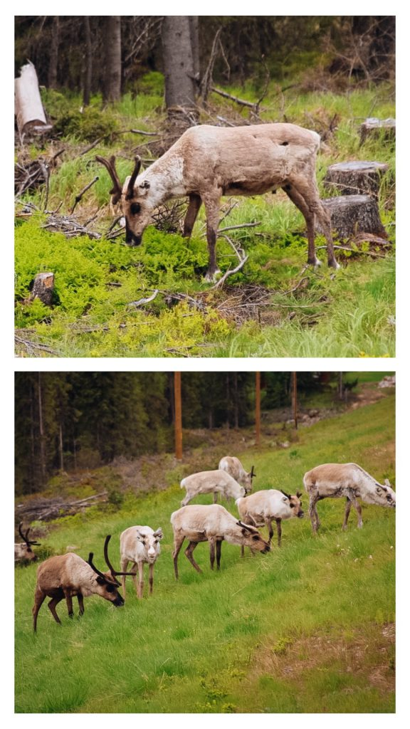 Rentiere Lappland